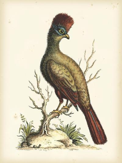 Regal Pheasants IV-George Edwards-Art Print