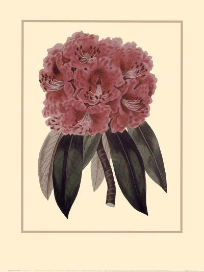 Regal Rhododendron-Rafael Landea-Art Print