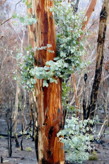 Regrow on Gum Trees after Bush Fire--Photographic Print