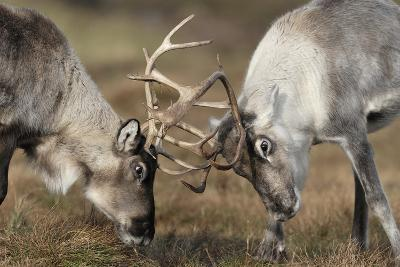 Reindeer Fighting-Laurie Campbell-Photographic Print
