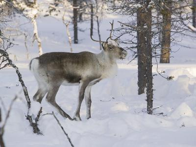 Reindeer Foraging in Northern Finland in Winter Near Saariselka-Ashley Cooper-Photographic Print