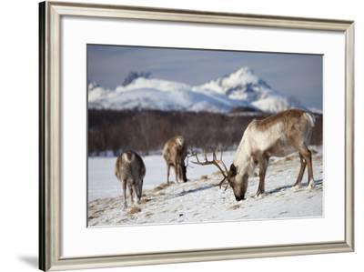 Reindeer in Arctic Landscape, Tromso, Norway-Tim Graham-Framed Photographic Print