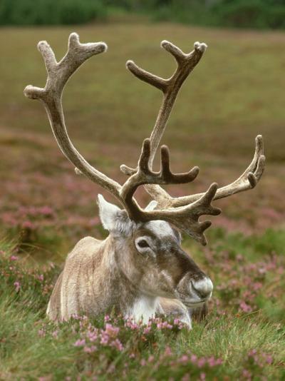 Reindeer, Portrait on Heather, Scotland-Mark Hamblin-Photographic Print