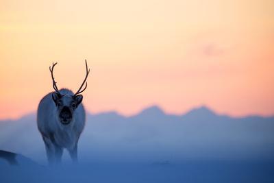 https://imgc.artprintimages.com/img/print/reindeer-rangifer-tarandus-on-a-snowy-ridge-svalbard-norway-april_u-l-q1genzs0.jpg?p=0