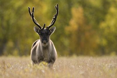 Reindeer (Rangifer Tarandus) Semi-Domesticated, Small Scale Herding by Local Sami, Sarek Np, Sweden-Cairns-Photographic Print