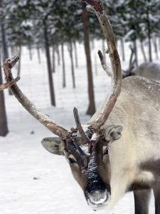 Reindeer Safari, Jukkasjarvi, Sweden, Scandinavia, Europe