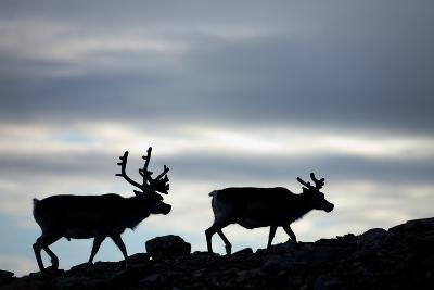 Reindeer, Svalbard, Norway-Paul Souders-Photographic Print
