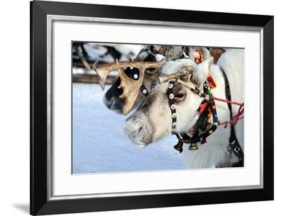 Reindeer-3355m-Framed Photographic Print