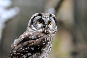 Boreal Owl by Reiner Bernhardt