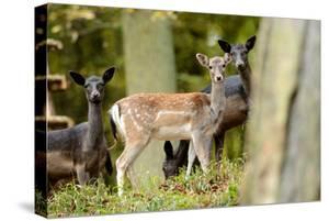 Fallow Deer, Fallow Bucks, Dama Dama, Wood, by Reiner Bernhardt