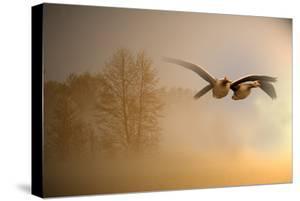 Greylag Goose, Fly by Reiner Bernhardt