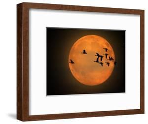 Greylag Goose, Silhouette, Full Moon by Reiner Bernhardt