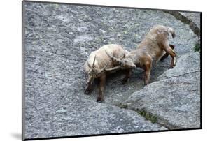 Ibexes, Capra Ibex by Reiner Bernhardt