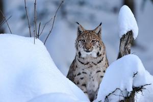 Lynx in Winter by Reiner Bernhardt