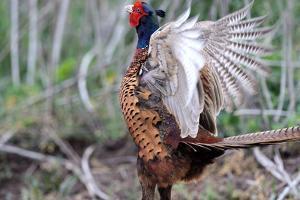 Pheasant by Reiner Bernhardt