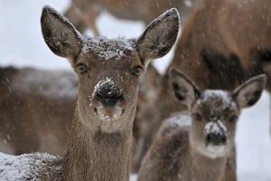 Red Deer, Hinds in Winter by Reiner Bernhardt