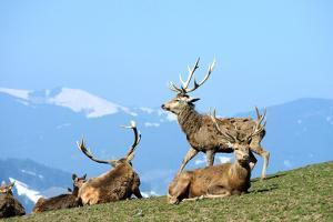 Red Deer, Red Deer by Reiner Bernhardt