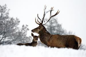 Red Deer by Reiner Bernhardt