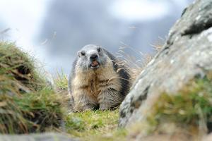 Rocks, Groundhog, Marmot by Reiner Bernhardt