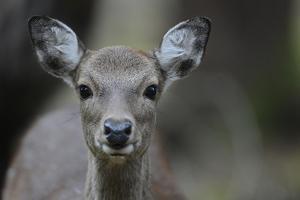 Sika Deer in Autumn by Reiner Bernhardt