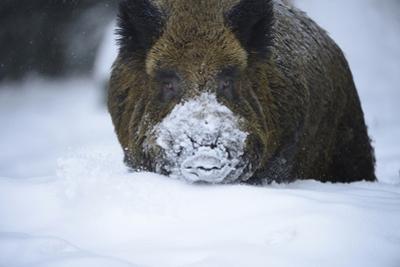 Snow, Wild Boar by Reiner Bernhardt