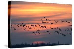 White-Fronted Goose in the Flight, Dusk by Reiner Bernhardt