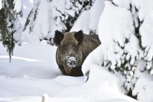 Wild Boar in Winter by Reiner Bernhardt
