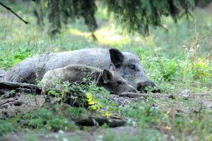 Wild Boar by Reiner Bernhardt