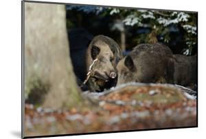 Wild Boars in Winter by Reiner Bernhardt
