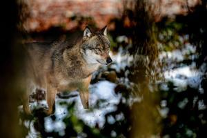 Wolves in Winter by Reiner Bernhardt