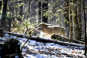 Wolves, Mating Season by Reiner Bernhardt