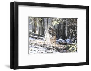 Wolves, Mating by Reiner Bernhardt