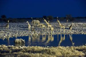Namibia, Region of Kunene, Etosha National Park, Water Hole Okaukuejo, Giraffes by Reiner Harscher