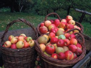 Baskets with Apples (Malus Domesticus) Europe by Reinhard