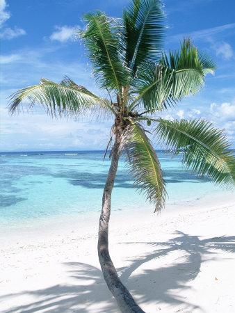 Beach with Coconut Palm (Cocos Nucifera) La Digue, Seychelles