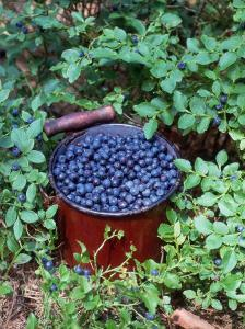 Bilberries on Shrub and in Pot (Vaccinium Myrtillus) Europe by Reinhard