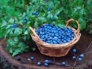 Blackthorn Berries on Shrub and in Basket (Prunus Spinosa) Europe by Reinhard