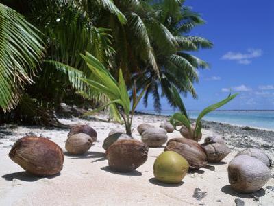 Coconut Palm Seedlings (Cocos Nucifera) on Tropical Beach, Seychelles