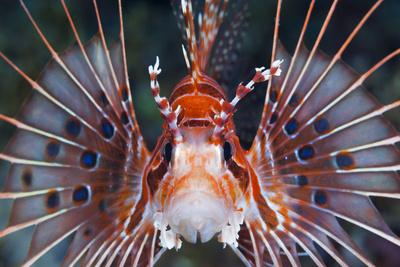 Aerials-Lion Fish, Pterois Antennata, Florida Islands, the Solomon Islands