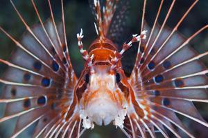 Aerials-Lion Fish, Pterois Antennata, Florida Islands, the Solomon Islands by Reinhard Dirscherl