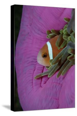 Anemonefish (Amphiprion Nigripes) in a Sea Anemone, Pacific Ocean.