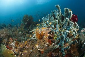 Anthias in the Coral Reef, Indonesia by Reinhard Dirscherl