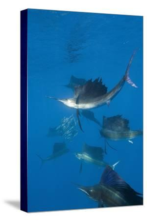 Atlantic Sailfish (Istiophorus Albicans) Hunting Sardines, Isla Mujeres, Yucatan Peninsula, Caribbe