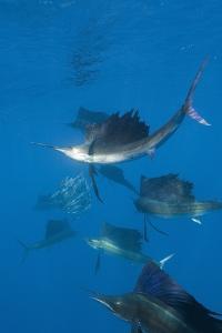 Atlantic Sailfish (Istiophorus Albicans) Hunting Sardines, Isla Mujeres, Yucatan Peninsula, Caribbe by Reinhard Dirscherl