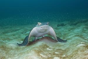 Bat Ray (Myliobatis Californica) by Reinhard Dirscherl