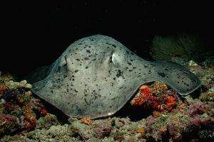 Black-Spotted Stingray (Taeniura Meyeni). by Reinhard Dirscherl