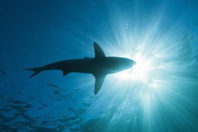 Blacktip Shark (Carcharhinus Limbatus) by Reinhard Dirscherl