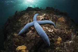 Blue Starfish on a Coral Reef (Linckia Laevigata), Alam Batu, Bali, Indonesia by Reinhard Dirscherl