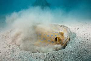 Bluespotted Ribbontail Stingray (Taeniura Lymma) by Reinhard Dirscherl