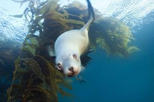 Californian Sea Lion, Zalophus Californianus, Cedros Iceland, Mexico by Reinhard Dirscherl